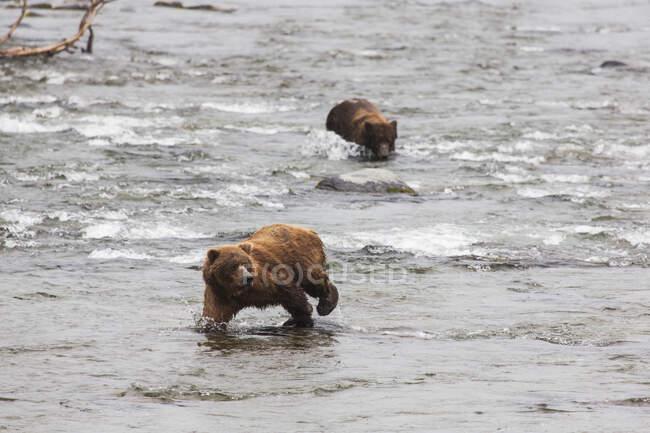 Grizzly Bears (Ursus Arctos) Pesca de salmón Sockeye en Brooks Falls en Katmai National Park & Preserve, Southwest Alaska; Alaska, Estados Unidos de América - foto de stock