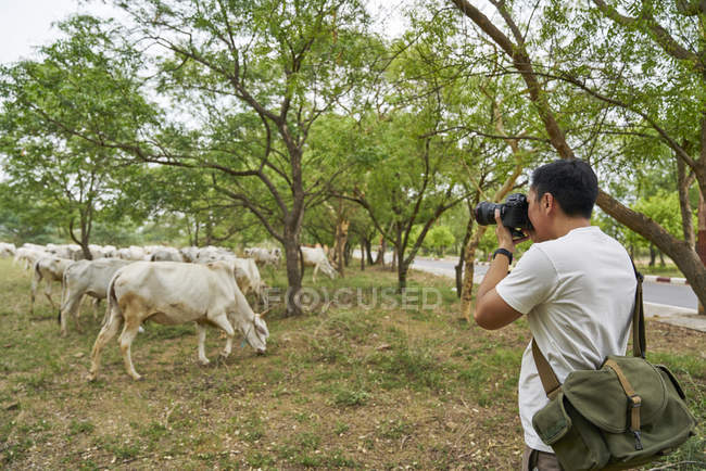Young man taking photo of a group of cows — Stock Photo