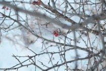 Berries on winter tree — Stock Photo