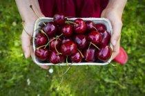 Manos femeninas sosteniendo caja de cerezas - foto de stock