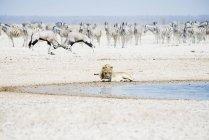 Лев на waterhole з стадо зебр і Oryx — стокове фото