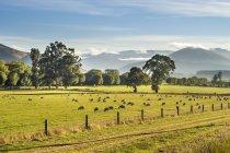 Troupeau de moutons dans le Parc National de Fiordland — Photo de stock