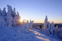 Épinettes enneigées au lever du soleil — Photo de stock