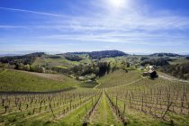 Австрия, Штирия, Рач-ан-дер-Фалстра, виноградники — стоковое фото
