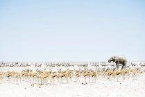 Elefanten, Springböcke und Oryx umgeben — Stockfoto