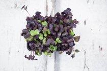 Crescione di ravanello Sango biologico — Foto stock