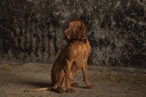 Vizsla dog sitting on ground and looking sideways — Stock Photo