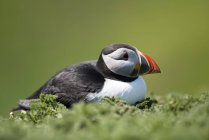 Atlantic puffin in the nest — Stock Photo