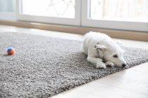 Собака, лежа на ковре — стоковое фото
