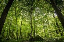 Hohe Bäume im Sommer Wald — Stockfoto