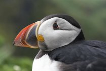 Close up of Atlantic puffin — Stock Photo