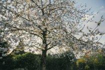 Arbre à floraison cerise — Photo de stock