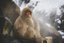 Japón, Yamanouchi, Jigokudani Monkey Park, tuerto makak sentado en roca - foto de stock
