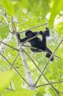 Aullador negro de Perú, Parque Nacional del Manu, en árbol - foto de stock