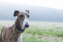 Close-up of Greyhound dog standing on a meadow — Stock Photo