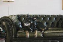Deutschland, Berlin, Porträt von Hund auf Sofa — Stockfoto