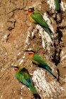 Botswana, Tuli Block, bee-eaters — Stock Photo