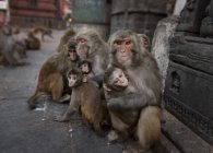 Nepal, Himalaya, Kathmandu, monkeys at Swayambhunath temple — Stock Photo