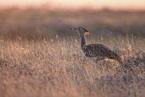 Namibia, Etosha Nationalpark, Kori Bustard auf Wiese — Stockfoto