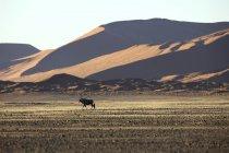 Gemsbok Nel deserto, Africa — Foto stock