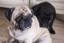 Two pugs on floor indoors — Stock Photo