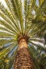 Árboles de Palma verde inferior vista en luz del sol - foto de stock