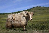 Yak (Bos mutus) entouré de mouches sur une prairie, Terkhiin Tsagaan Nuur, Steppe Nord, Arkhangai Aimag, Mongolie — Photo de stock