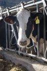Крупним планом корова морди переглядають камери через паркан ферми — стокове фото