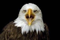 Nahaufnahme der schreienden Adlerkopf — Stockfoto
