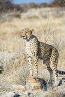 Namibia, Kamanjab, portrait of cheetah in the savannah — Stock Photo