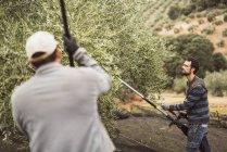 Человек с помощью вибратора для урожая оливок — стоковое фото