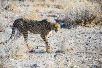 Намибия, Каманжаб, гепард, ходить в саванне — стоковое фото