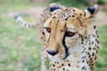 Retrato de Namibia, Kamanjab, de guepardo - foto de stock
