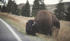 USA, Yellowstone National Park, Bison grazing at roadside — Stock Photo