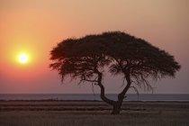 Африка, Намибия, Национальный парк Этоша, закат над дерево — стоковое фото