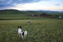 Das amarbayasgalant-Kloster in der nördlichen Mongolei, die Provinz Selenge und Hunde im Vordergrund — Stockfoto