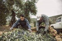 Men filling buckets with black olives. Jaen, Spain. — Stock Photo