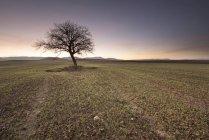 Arbre solitaire dans le champ — Photo de stock