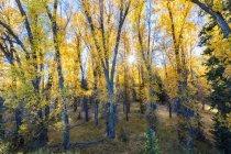 Álamos de las montañas rocosas, Parque Nacional Grand Teton, Wyoming, Estados Unidos en otoño - foto de stock