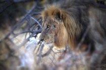 Крупным планом вид самца льва с гривой в национальном парке Этоша, Намибии, Африка — стоковое фото