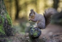 Red squirrel (Sciurus vulgaris) on the tree — Stock Photo
