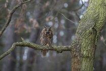 Waldohreule sitzen im Wald — Stockfoto