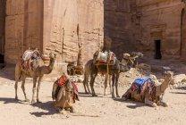 Верблюди, відпочиваючи в денний час проти стародавнього храму комплексу, Йорданія — стокове фото