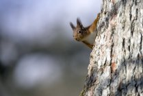 Esquilo-vermelho (Sciurus vulgaris) na árvore — Fotografia de Stock