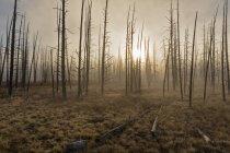 Foresta di Stati Uniti d'America, Parco nazionale di Yellowstone, con gli alberi morti — Foto stock