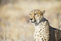 Намибия, Каманжаб, Гепард в саванне — стоковое фото