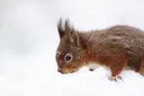 Євразійська Вивірка звичайна (Неперевірена вульгарні) в снігу — стокове фото
