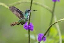 Zaffiro di Golden-munito di Peru, Parco nazionale di Manu, nell'aria — Foto stock