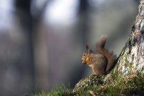 Esquilo-vermelho (Sciurus vulgaris) segurando a porca — Fotografia de Stock