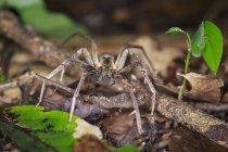 Closeup view of wandering spider in natural habitat — Stock Photo